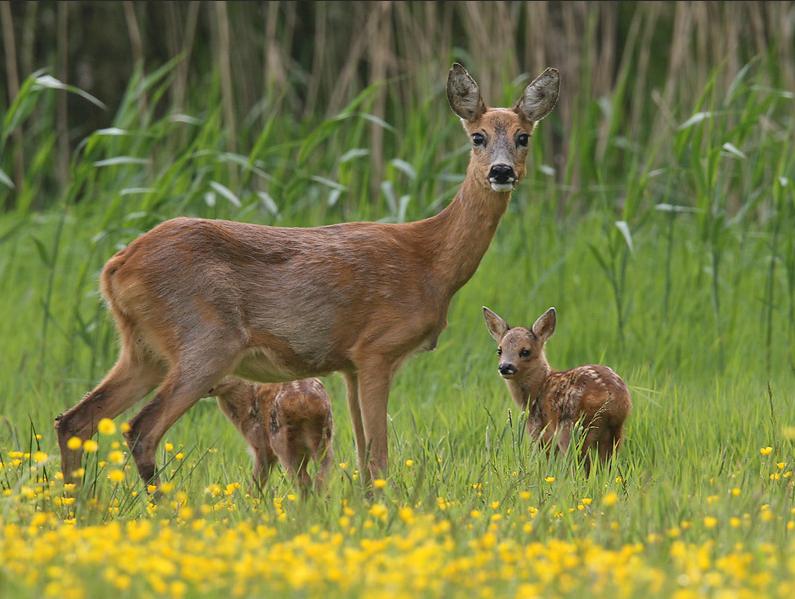 Wildbeheereenheid overbetuwe oost natuurbeheerorganisatie in de gemeente lingewaard - Fotos van levende ...